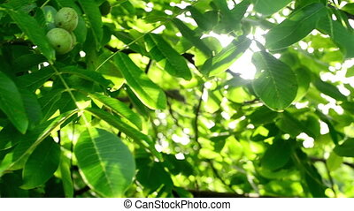 Sunlight through walnut tree - Morning Sunlight through...