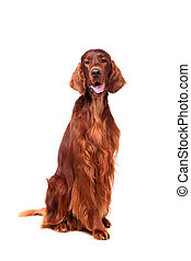 Irish Red Setter on white background - Beautyfull Irish Red...