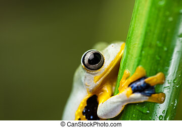 Flying Frog in the jungle