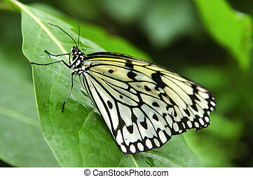 Paper Kite or Rice Paper butterfly (Idea leuconoe)