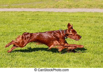 Irish Setter running - Irish Setter runs on the green meadow