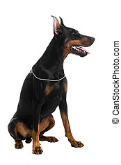 Portrait of black doberman on white - Portrait of black...