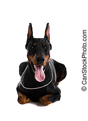 retrato, negro, Doberman, blanco
