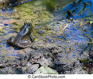 Cascades Frog At Rest - Cascades Frog Rana cascadae rests...
