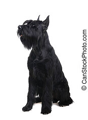 Giant black schnauzer on white - Giant black schnauzer,...