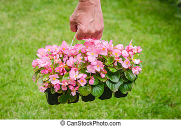 Hand holds container of pink blossom begonia in garden -...