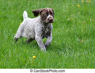 german shorthaired pointer puppy in the grass - 8 weeks old
