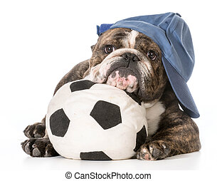 sports hound - english bulldog laying down with head resting...