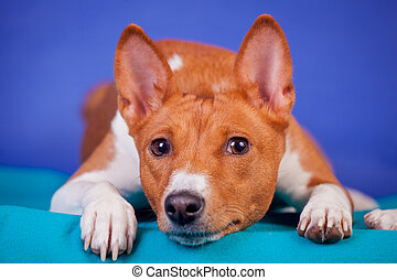 Red basenji on blue - Red basenji lay on the blue background