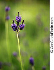 Lavender Flower Stem in a Bright Field With Copy Space