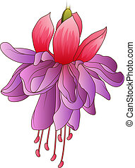 Fuchsia flower isolated