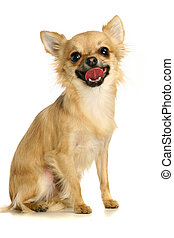 Chihuahua on white background - Small chihuahua isolated on...