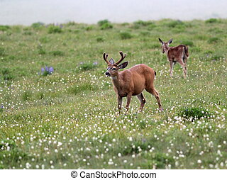 Deer in an Alpine Meadow