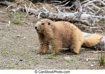 Olympic Marmot - An Olympic Marmot in Washington State