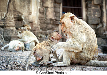 Lopburi Thailand Monkey Crab-eating or Long-tailed macaque...