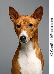 Portrait of a basenji dog on gray background