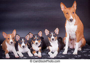Little Basenji puppies with mother on black - Little Basenji...