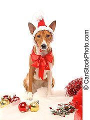 Basenji with christmass tree decorations - Basenji sitting...