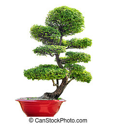 Bonsai tree isolated on white background. Traditional...