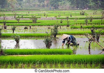 Rice field in Vietnam Ninh Binh rice paddy