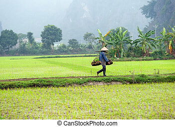 Rice field in Vietnam Ninh Binh rice paddy