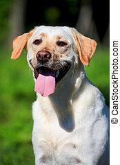 Labrador retriever dog outside - Labrador retriever dog on...
