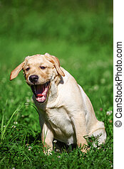 Labrador retriever puppy sitting on green meadow