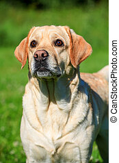 Labrador retriever dog outside - Labrador retriever dog on...