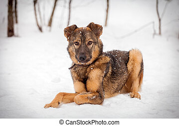 Mixed breed dog on the snow - Mixed breed dog, 7 mounth old,...