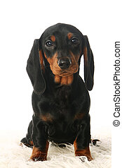 Dachshund puppy on white - Dachshund puppy isolated in front...