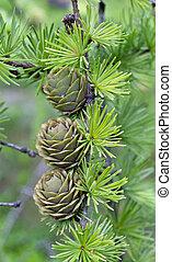 ramo, cones
