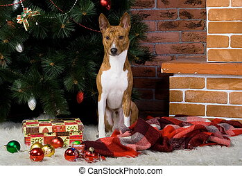 Basenji with christmas-tree decorations - Brindle Basenji...