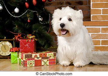 West haigland white terrier, christmas - West haigland white...