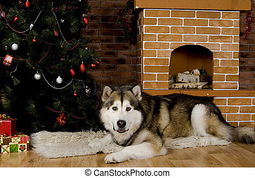 Malamute with christmas-tree decorations - Sweet malamute...