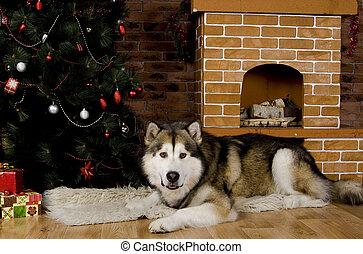 Malamute with christmas-tree decorations - Sweet malamute...