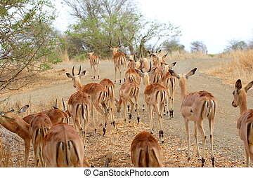 Herd of Impala - A large herd of Impala looking for food