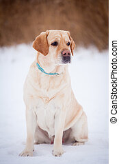 Yellow labrador retriever standing on a snowy path in the...