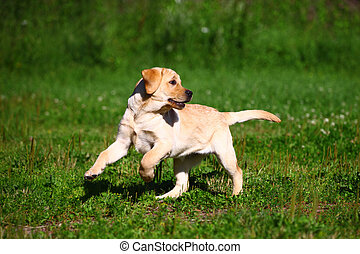 Labrador retriever puppy running on green meadow