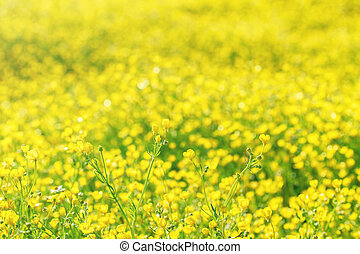 A field of bright yellow flowers