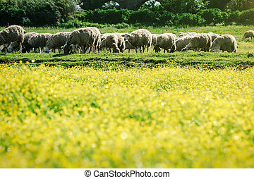 Field of yellow flowers and sheep