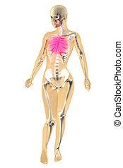 Female Anatomy - Chest pain