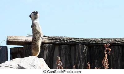 meerkat on watch