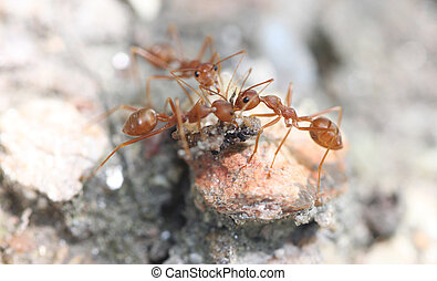 Ants are looking for food. - Ants are looking for food in a...