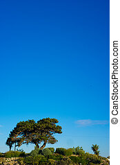 Lone olive tree on a hilltop against a clear sunny blue...