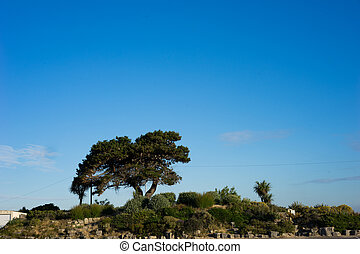 Single spreading olive tree growing on a hilltop