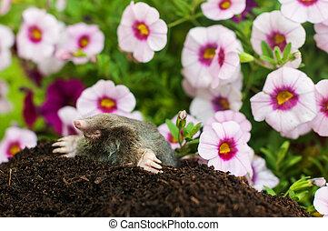 Mole in the hole - Mole on a heap of soil in a garden