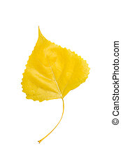 Poplar leaf - Autumn yellow orange poplar leaf isolated on...