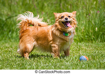 Light brown dog with ball - Light brown dog standing in a...