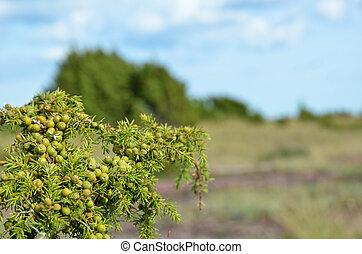 Green juniper berries at a branch in an open landscape