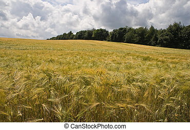 Riping grain on the fields in summer